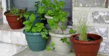herbs in potting soil