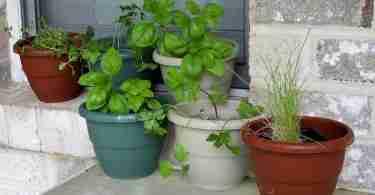 herbs in potting soil