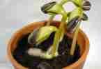 Sunflower_seedlings