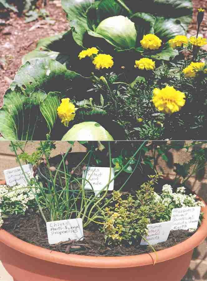 companion planting cabbage floral