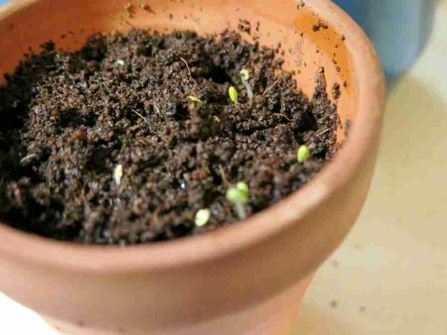 Chia Herb Garden Sprouts