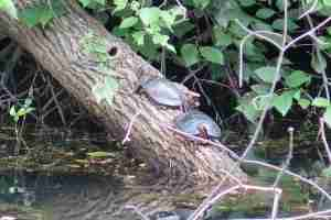 canal turtles