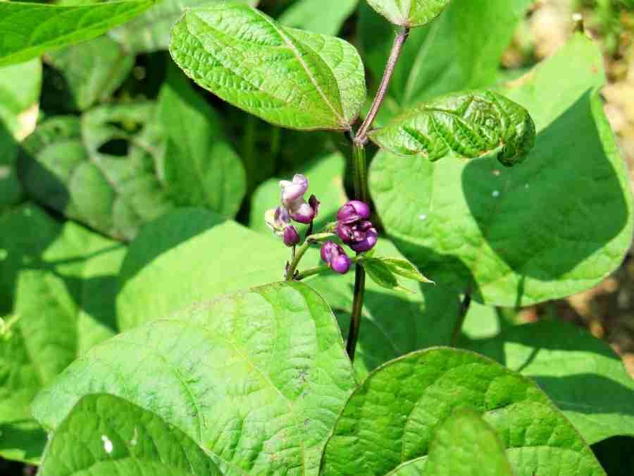purple bean flower
